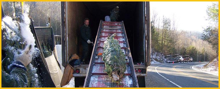wholesale christmas trees north carolina - Wholesale Christmas Trees