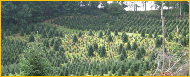 nc christmas tree farm - Christmas Tree Farming