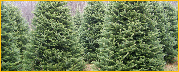 nc christmas tree farms nc mountain log cabin rental - Christmas Tree Rental